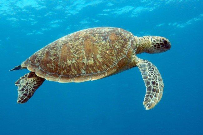 Turtle close to Heron Island