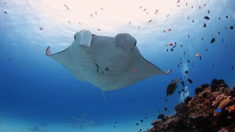 Manta Ray underwater - Lady Elliot Island