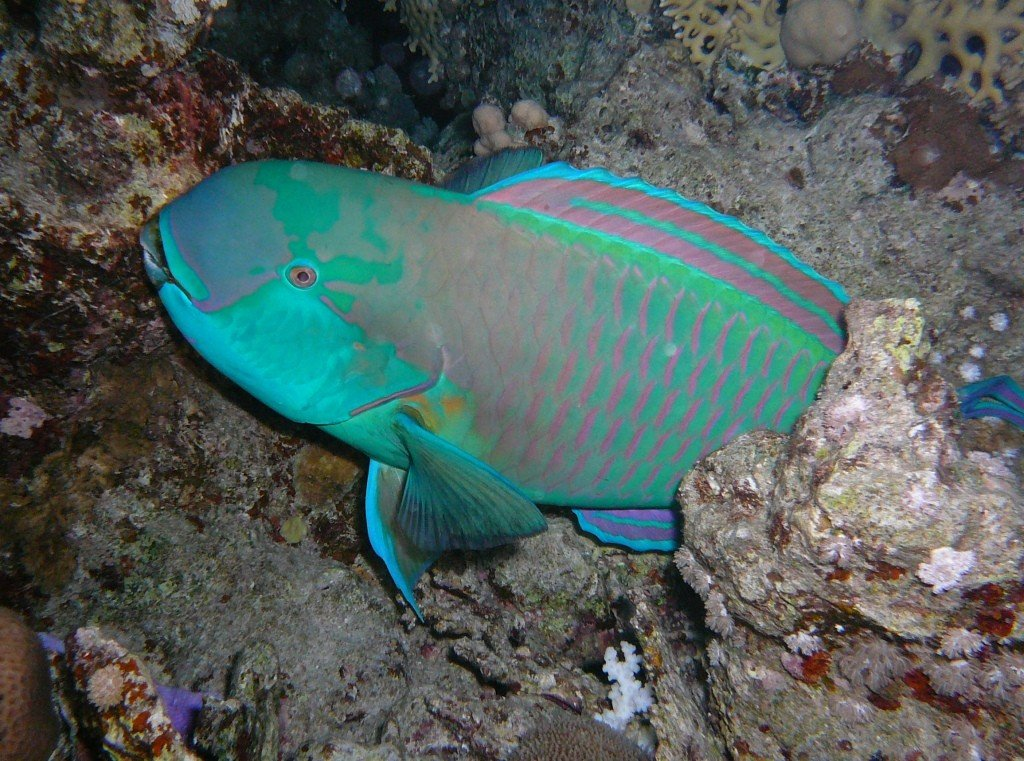 Reef saver parrotfish