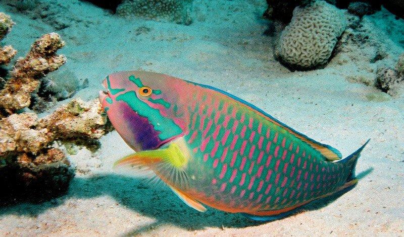 Reef saver parrotfish