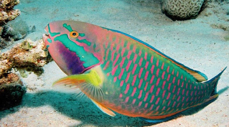 Parrotfish eating corals