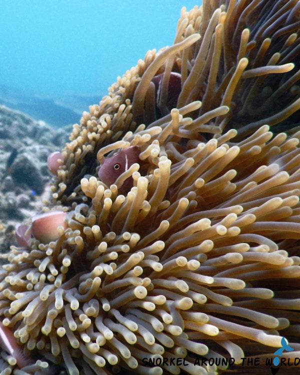Thailand - Anemone fish