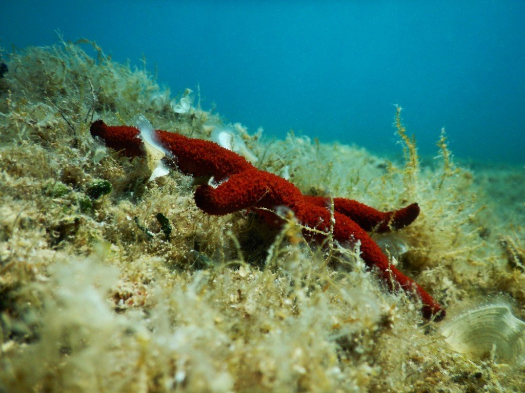 Red sea star in the Adriatic Sea