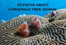 Christmas tree worms – colorful treasures underwater