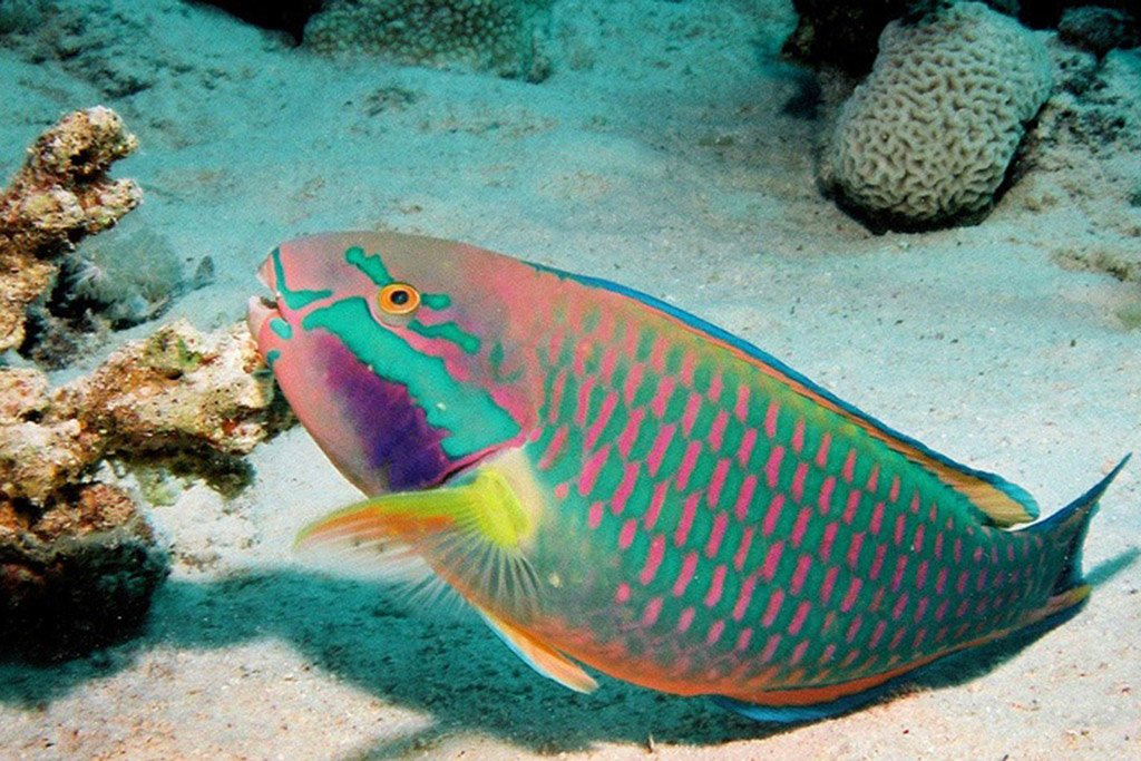 parrotfish keep the coral alive