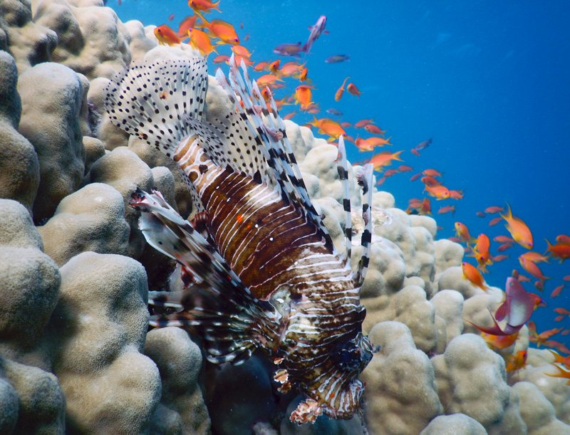 the invasion of red lionfish in the atlantic oceans The topic of lionfish invasion is now on the beautiful depredator: a story of lionfish predators in the atlantic ocean make lionfish dangerous to.