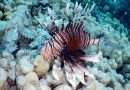 Lionfish invasion – What's the problem with this fish?