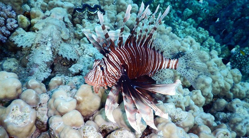 Lionfish invasion – what is the problem with this fish?