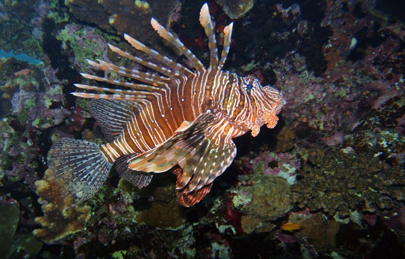 Lionfish Red-Sea