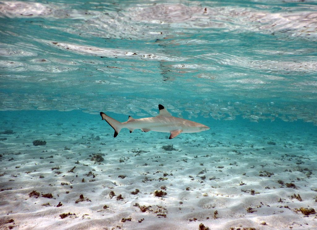baby shark-biyadhoo resort