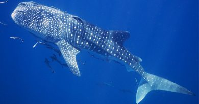 Whale shark on Koh Tao - snorkeling with this gentle giant