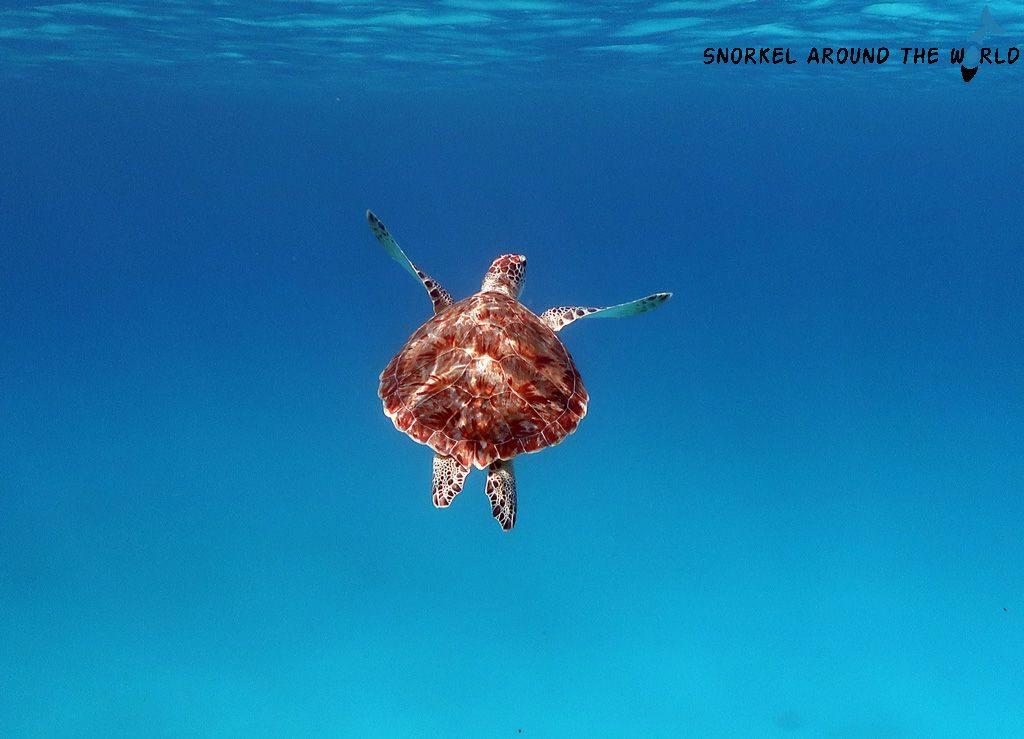 Arashi Bay Aruba - Turtle