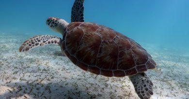 Snorkeling-with-turtles-in-Aruba_index