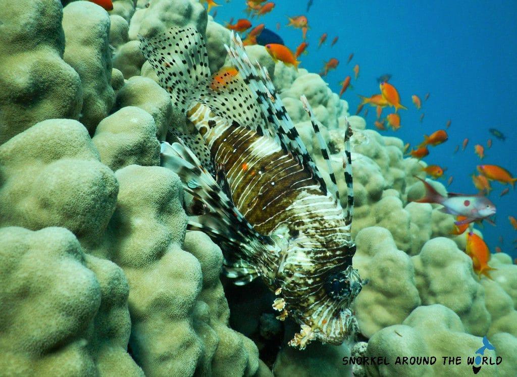 Abu Dabbab Lionfish