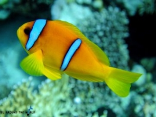Anemonefish redsea Egypt
