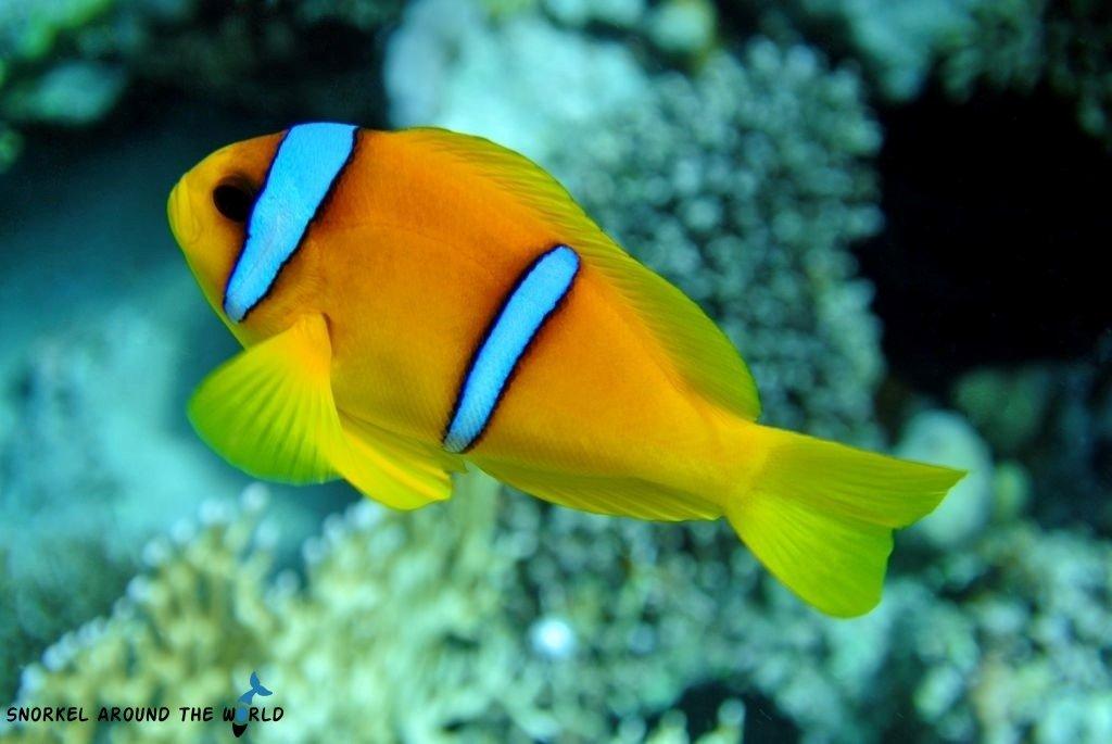 Anemonefish redsea Egypt