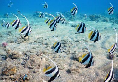 Bannerfish RedSea Egypt