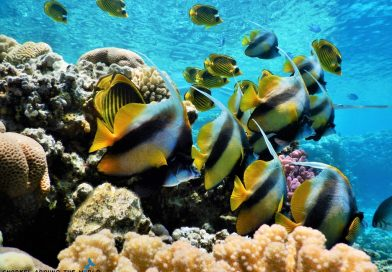 Bannerfish Redsea