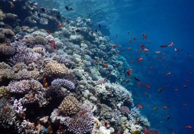 Bells Dahab - Corals