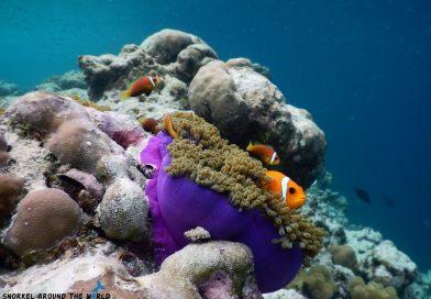 Biyadhoo Clownfish