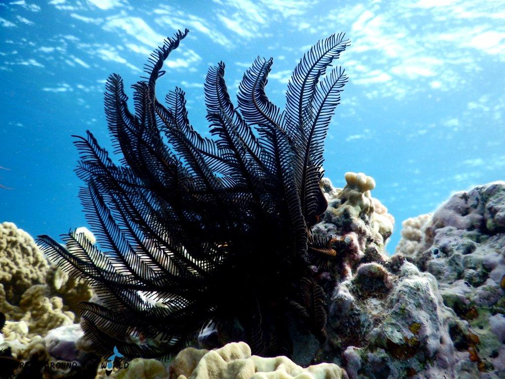 Black Feather Starfish
