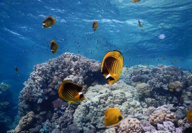 Buterflyfish - Ras Ghamila