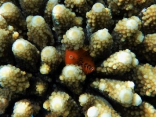 Christmas Tree worm Red Sea