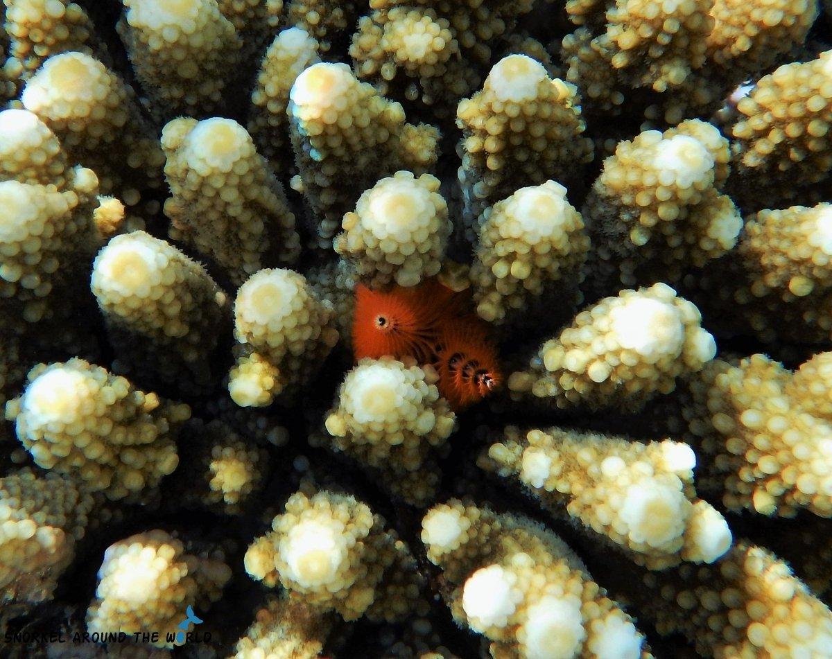 Christmas Tree worm Red Sea