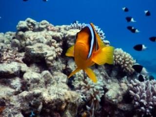 Clown fish - Sharm el Sheikh Ras Ghamila