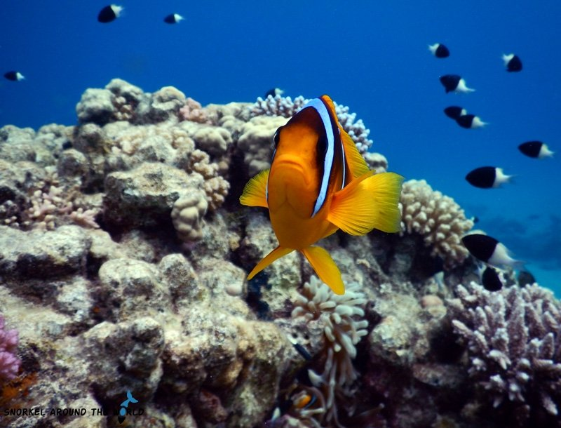 Clown fish - Sharm el Sheikh Ras Ghamila