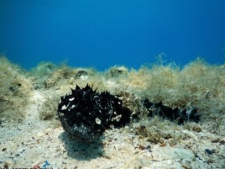 Croatia black sea cucumber