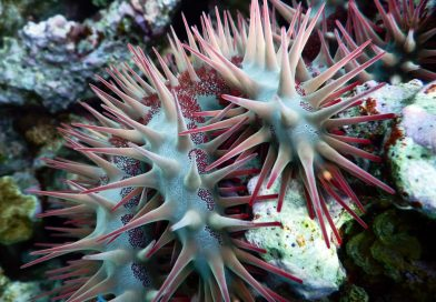 Crown of thorns Starfish Red Sea