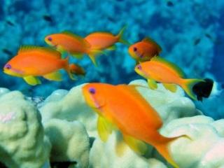 Egypt- Golden Fish
