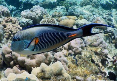 Egypt - surgeonfish