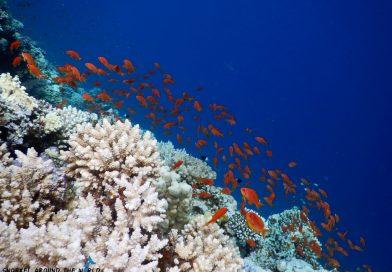 Golden fish Red Sea