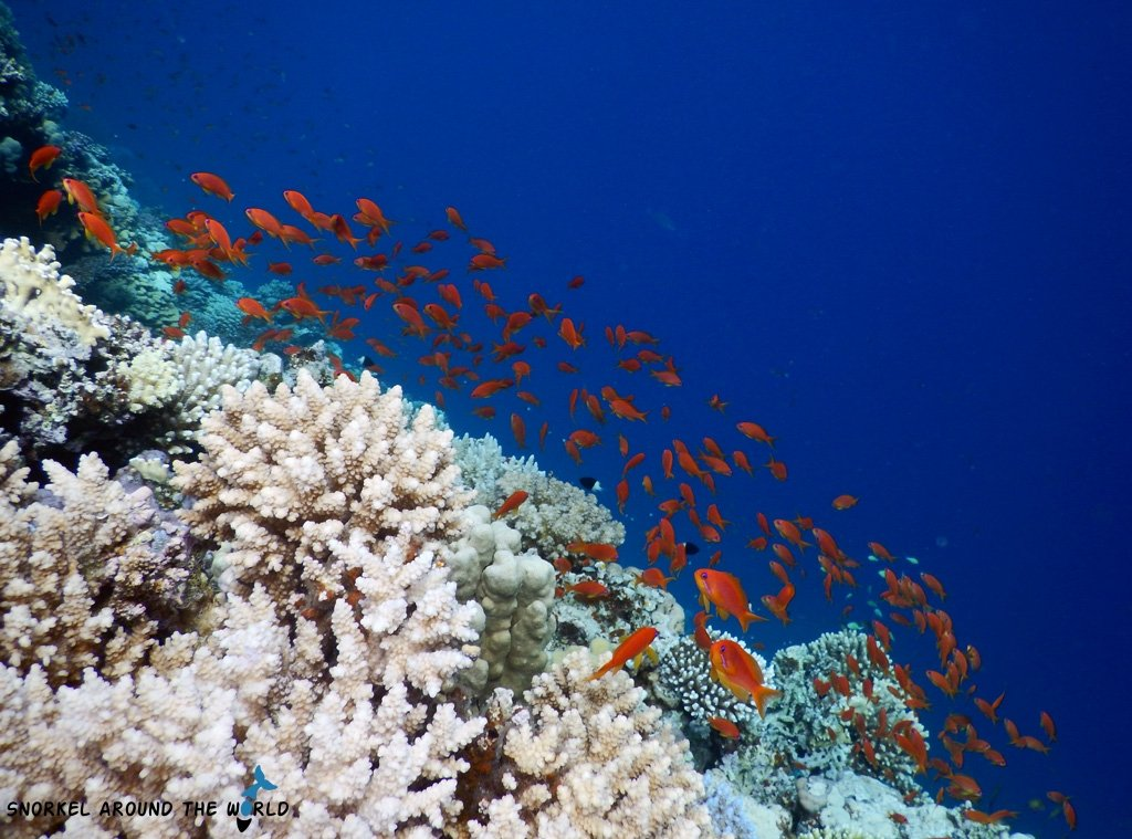 Golden fish Red Sea