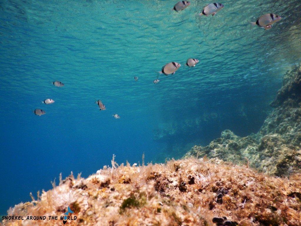 Grey-black fish in the Adriatic Sea