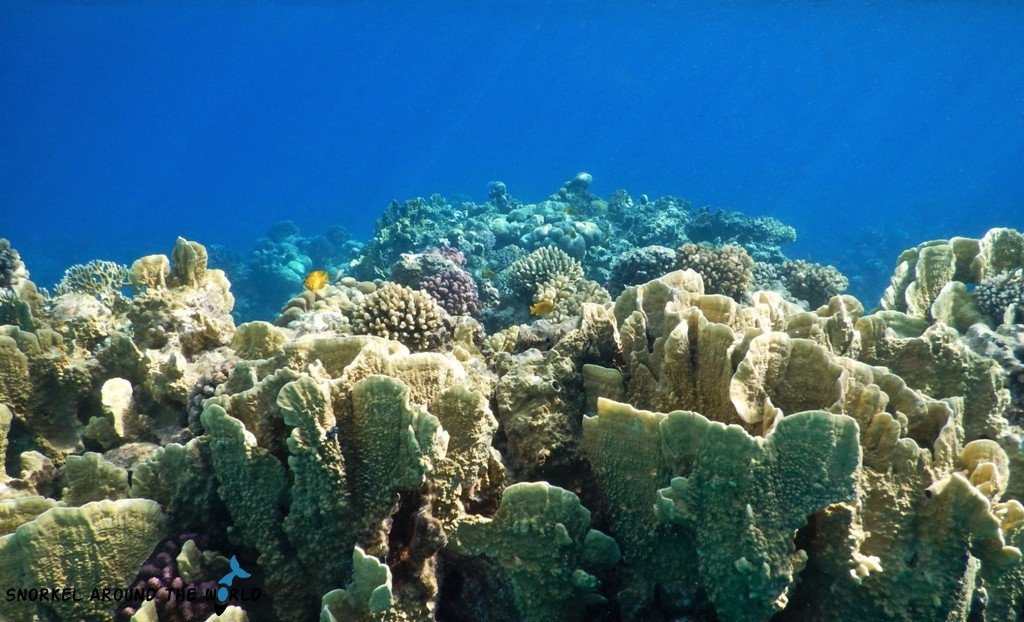 Hard corals in the Red Sea