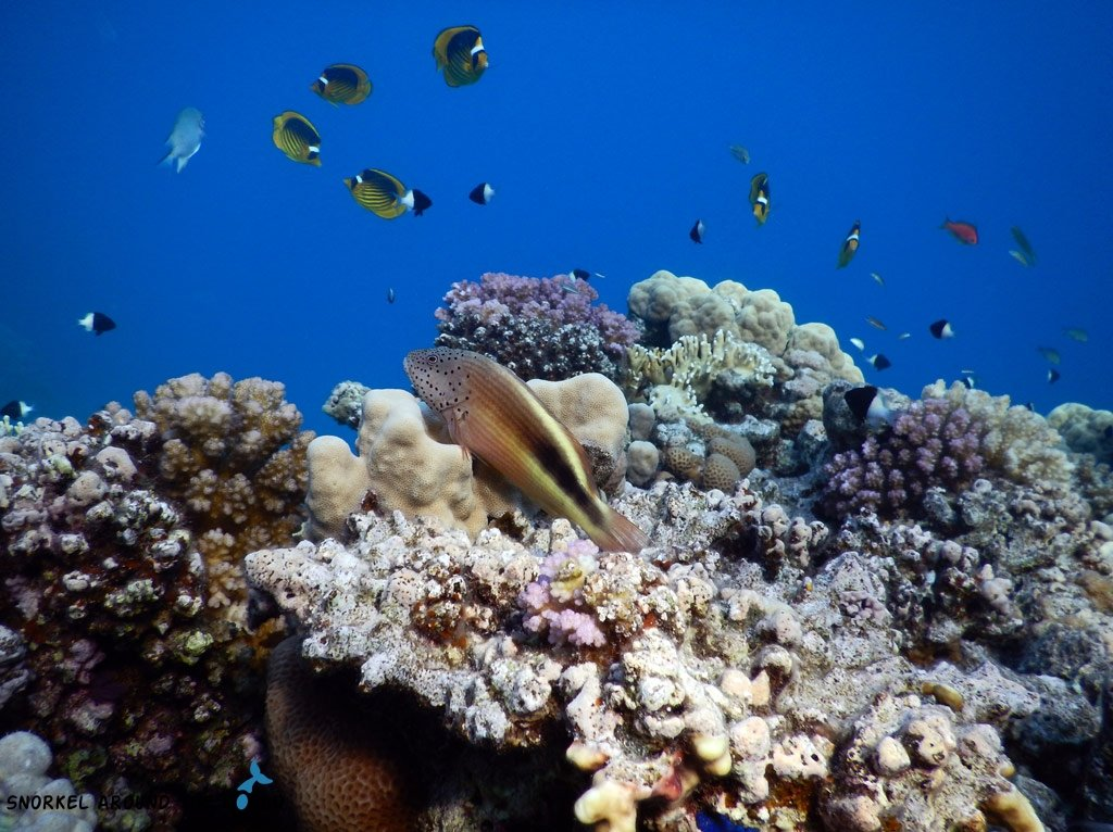 Hawkfish in the Red Sea coral reef