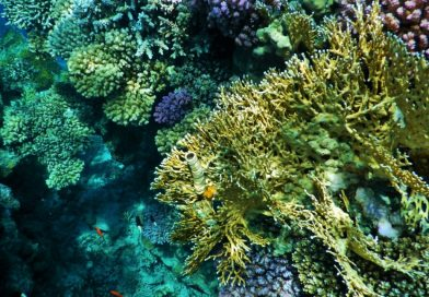 Healthy coral reef Egypt