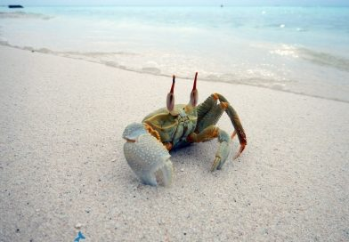 Injured crab