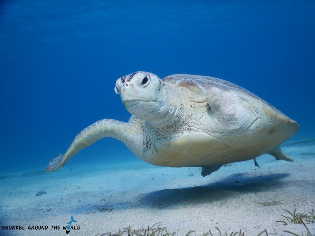 Injured sea turtle - Red Sea