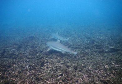 Koh Tao Sharks bay