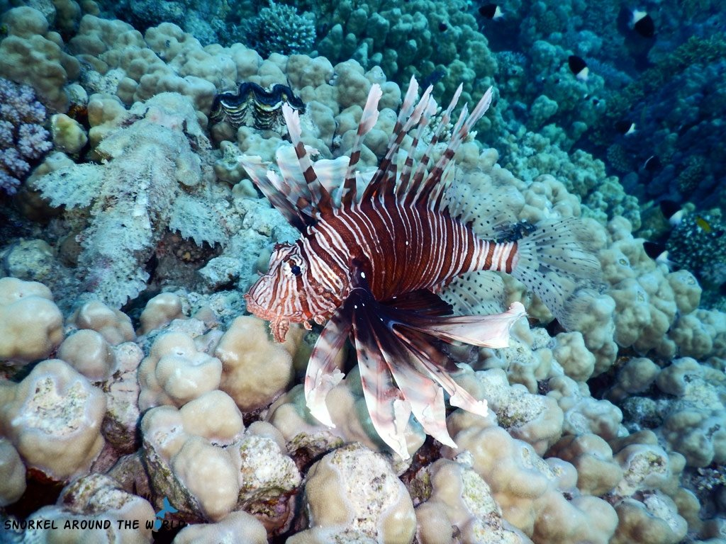 Lionfish invasion - Lionfish in the Red Sea