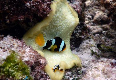 Maldives Biyadhoo Clownfish