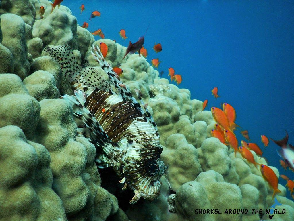 Marsa Alam - Lionfish
