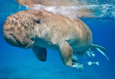 Marsa Alam - Sea Cow