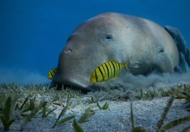 Marsa Mubarak - Snorkeling with dugong