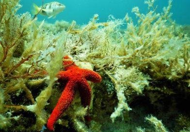 Mediterranean Sea - Seastar - Malta