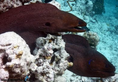 Moray Eels Maldives